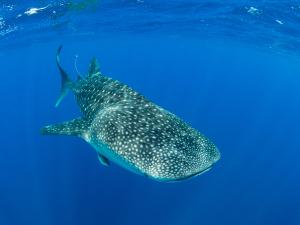 madagascar-whale-shark.jpg