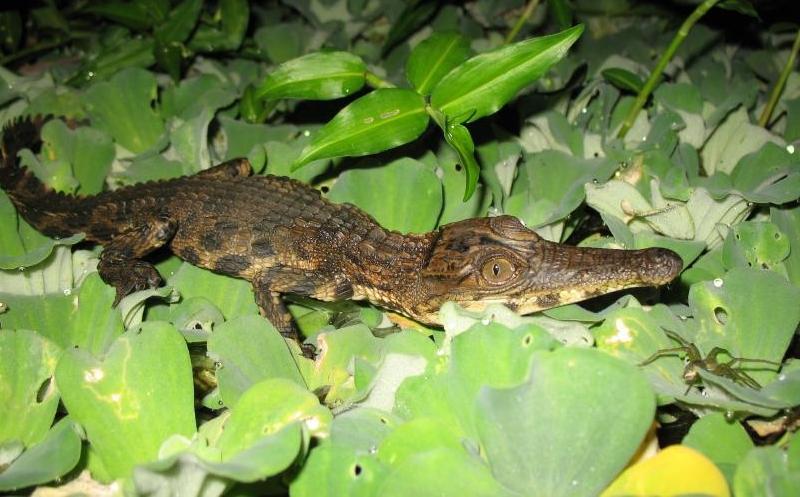 slender-snouted-crocodile.jpg